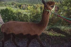 Alpaka Wanderung um die Leuchtenburg